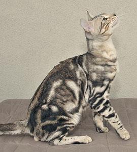Ilendri Hodowla Kotów Bengalskich Warszawa Polska Bengal Cat